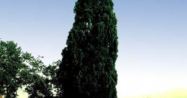 More information about 500 Years Old Cypress Tree