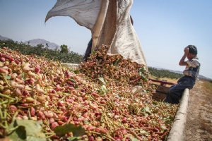 Picking pistachios - Hajiabad