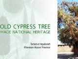 Iran tourism News: Old cypress tree made national heritage